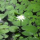 Two White Waterlilies in a Pond. by Mywildscapepics