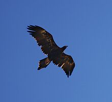 Wedge Tailed Eagle.  by Andy Newman