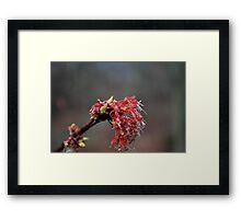 Maple bloom  Framed Print