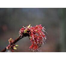 Maple bloom  Photographic Print