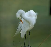 Avery Island Egrets--Preening Time by Bonnie T.  Barry