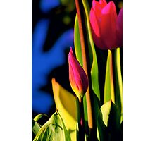 tulip budding... it's Spring! again... Photographic Print