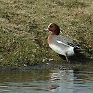 Male Eurasian Widgeon by Robert Abraham