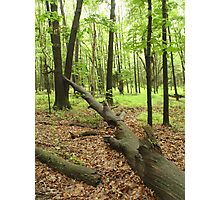 Fallen Tree Forest Photographic Print