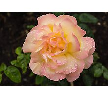Rose and Rain - Pale Peaches, Pinks and Creams Photographic Print