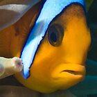 Clown fish by wildshot