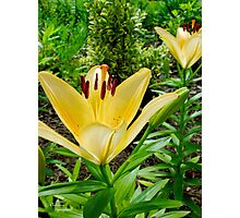 Yellow Daylilies Photographic Print