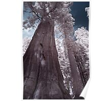 Giant Sequoias, Giant Forest, Sequoia National Park Poster