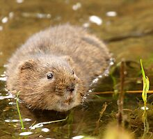 water vole by Chukie