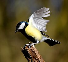 Landing Great Tit by Chukie