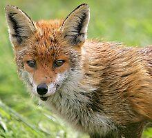 fox by Chukie