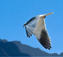 Black shouldered Kite with great wing profile by wildshot
