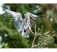 Heron Landing in the Rookery Photographic Print