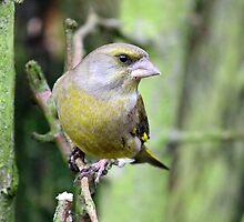 Grumpy Greenfinch by Chukie