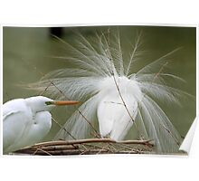 Avery Island Egrets--Heads or Tails? Poster