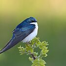 Tree Swallow On Green by Gary Fairhead