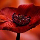 Anemone Amoris by Stas Medvedev