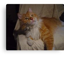 Content Maine Coon Cat Canvas Print