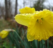 Droplets on the Daffodils by Michele Ford