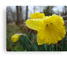 Droplets on the Daffodils Canvas Print