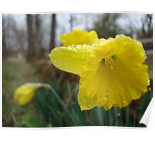 Droplets on the Daffodils Poster
