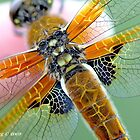 Four-spotted Chaser wings, Libellula quadrimaculata on photographer&#x27;s finger by pogomcl