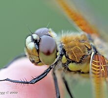 Four-spotted Chaser wings, Libellula quadrimaculata on photographer's finger by pogomcl
