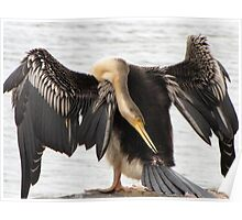 Darter engaged in preening Poster