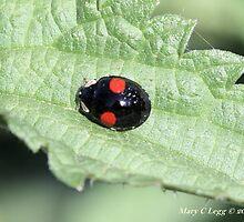 Halequin Ladybrd beetle, Harmonia axyridis var. spectabilis by pogomcl
