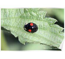 Halequin Ladybrd beetle, Harmonia axyridis var. spectabilis Poster