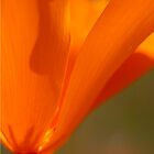 California Poppy by bettywiley