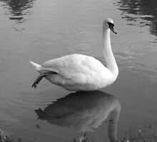 Hovering Swan on River Isis by Malky-C