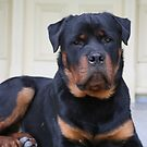 Bruno, just guarding the place - a Rottie's job!! by Pauline Winwood