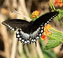 EASTERN BLACK SWALLOWTAIL BUTTERFLY by TomBaumker