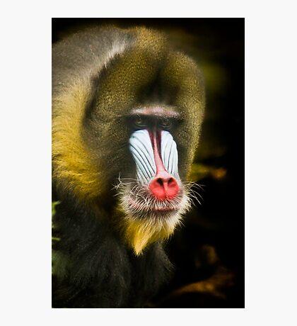 Mandrill Monkey Portrait Photographic Print