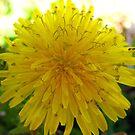 Yellow Dandy by Sandra Moore