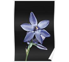 Sun Orchid - Thelymitra Media  Poster