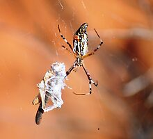 Enamelled Spider (Araneus bradleyi), Krichauff Ranges, Central Australia by sahoaction