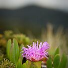 Native Pigface - South East Cape, Tasmania by Liam Byrne