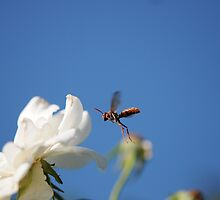 Wasp in mid fligh by boblemur