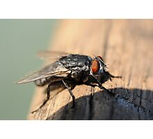 Macro of common house fly Photographic Print
