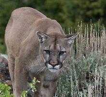 Cougar looking for dinner by Matthew Kochel