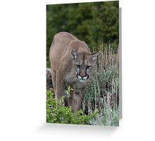 Cougar looking for dinner Greeting Card