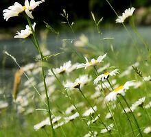 Wild Daisies by Vendla