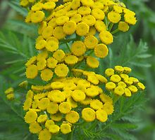 Common Tansy- Tanacetum vulgare by Tracy Faught