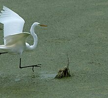 Avery Island Egrets--Hopscotch by Bonnie T.  Barry