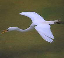 Avery Island Egrets--Flying low over the waters by Bonnie T.  Barry