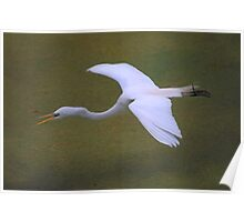 Avery Island Egrets--Flying low over the waters Poster