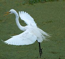 Avery Island Egrets--Coming in for a landing by Bonnie T.  Barry