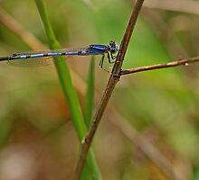 March Bluet by Bill Morgenstern